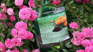 Натуральные удобрения для  подкормки  роз  и лилий летом.