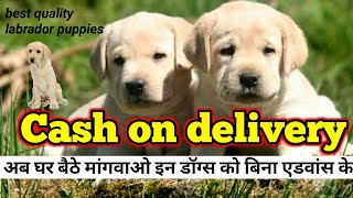 Cash on delivery | labrador puppies for sale India's number 1 dog breed