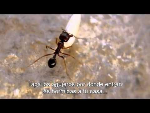 ¿Cómo eliminar las hormigas de la casa? ¡Aprende ahora mismo! de YouTube · Duración:  3 minutos 26 segundos