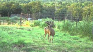 Whitetail Deer of Missouri
