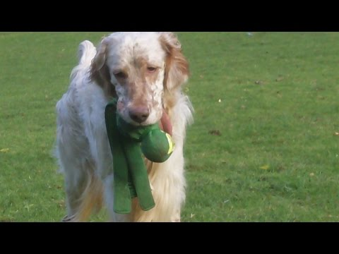 English Setter Otis and Bichon Frise Pepper at A & B Dogs Boarding & Training Kennels.