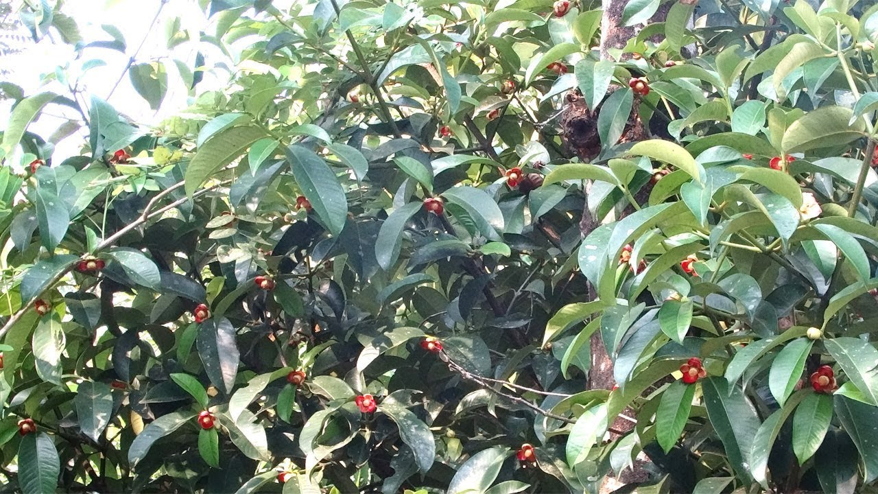 Mangosteen Tree Pictures