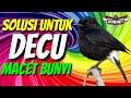 Solusi Burung Decu Macet Bunyi  Mp3 - Mp4 Download