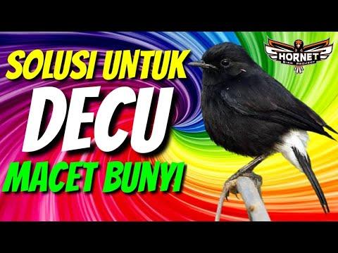 Solusi Burung Decu Macet Bunyi Youtube