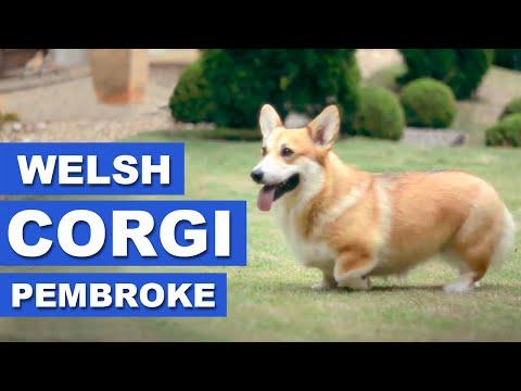 Welsh Corgi Pembroke - Quatro Patas
