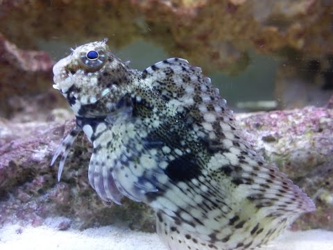 Lawnmower Blenny Best Algae Eater,  Marine Fish And Reef Safe