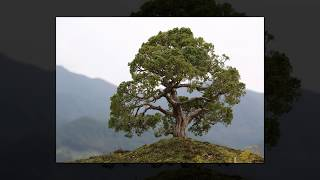 árboles gigantes del mundo para loreley romancera dj kikito