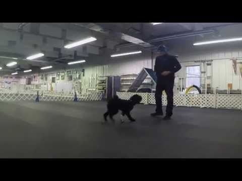 Pongo Boy - Portuguese Water Dog - Training with Magnetic Ball 011815