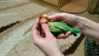 Попугай неразлучник Гошка. Вечерние нежности