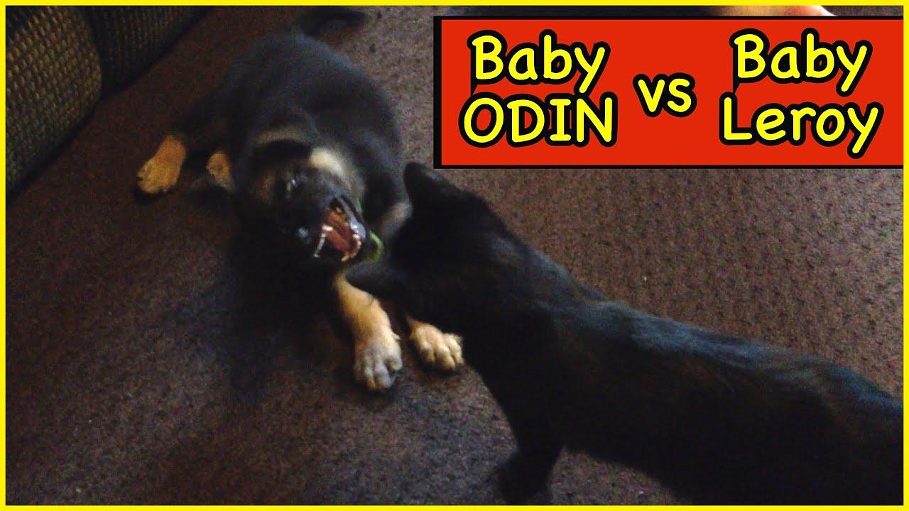 Baby Odin vs Baby Leroy | 7 weeks Old Puppy vs Kitten