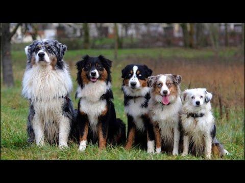 Berger Australien: tout savoir sur cette race de chien