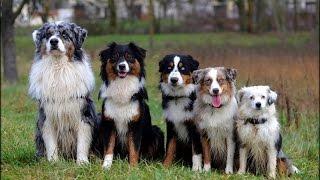 Berger Australien: tout savoir sur cette race de chien (australian shepherd) [VF]