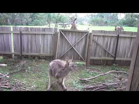 Brian Price - WATCH: Male Kangaroo Struggles to Reach Female Hiding in Fenced Yard