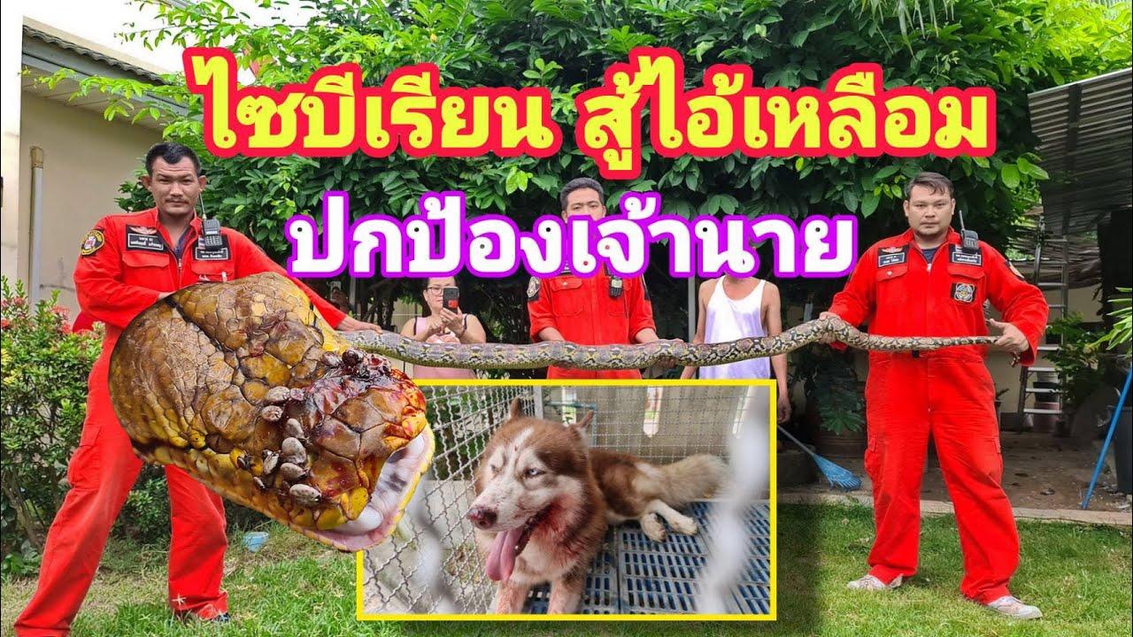 สุนัขผู้ภักดี! ไซบีเรียน ต่อสู้งูเหลือม 5 เมตร ปกป้องชีวิตเจ้านาย