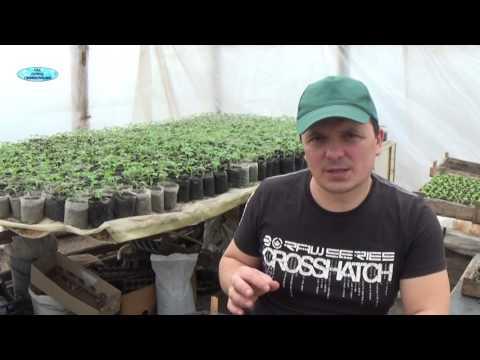 ПОДКОРМКА ТОМАТОВ. КАК ПОДКАРМЛИВАТЬ  РАССАДУ ТОМАТОВ! | выращивание | подкормить | подкормка | томатов | рассада | томаты | когда | как