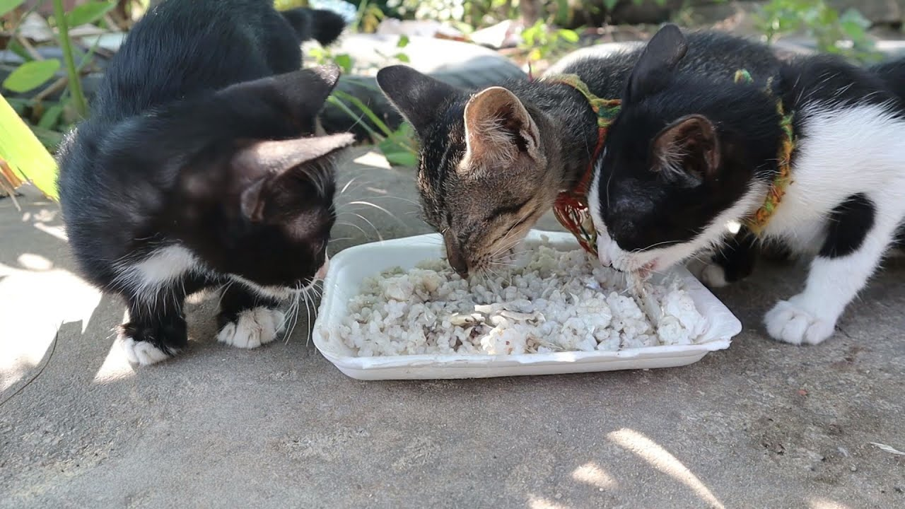 Poor Kitten eating rice with fish - Kitten eat rice \ The Gohan Dog And Cats