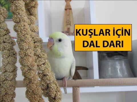 Kuşlar İçin Dal Darı