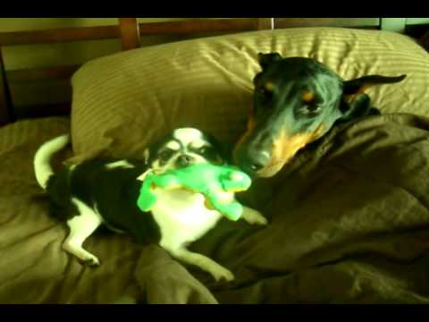 Chihuahua Owns Doberman