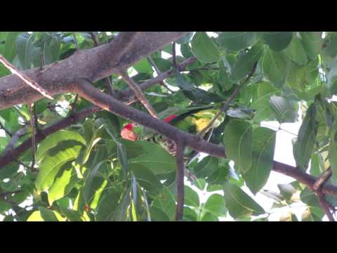 Red-Masked Conure (Parrot) in West Palm Beach