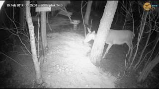 Łania w karmisku dla dzikich zwierząt w lesie na Podkarpaciu