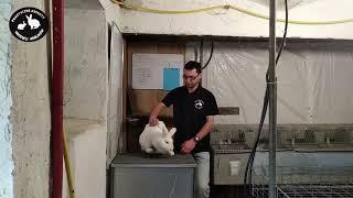 hodowla królików - porównanie trzech ras średnich: Kc, Nb, Tb - vlog 4
