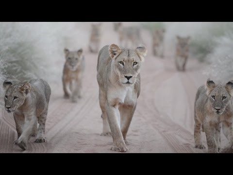 Lioness Adopts Orphaned Cubs