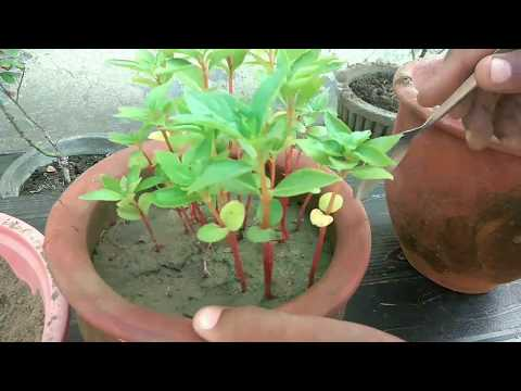 How to repot balsam seedling