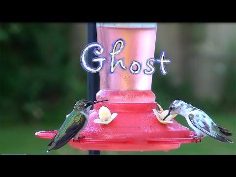 Pied Hummingbird
