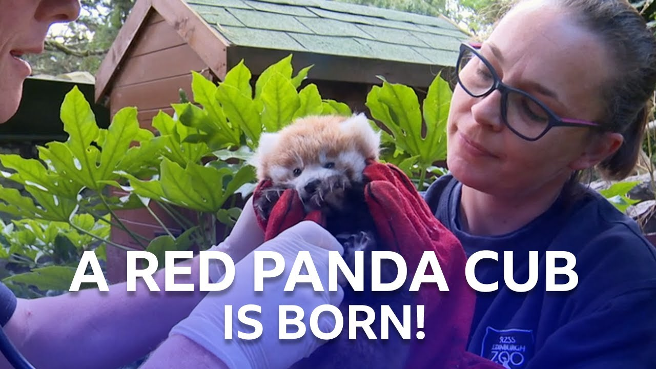Download A Red Panda Cub Has Been Born!   Inside The Zoo   BBC Scotland