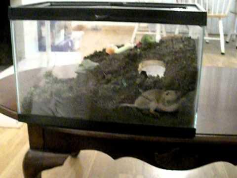 Gopher in aquarium