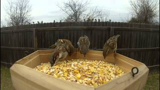 120fps Birds Feeding - Gopro Hero2