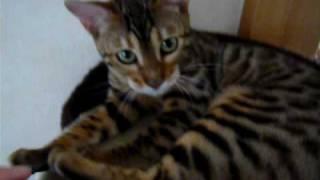 ベンガル猫すももの日常をお送りしています。 キャットタワーの頂上でマイペースに過ごしています。 少し鳴き声が聞こえます。