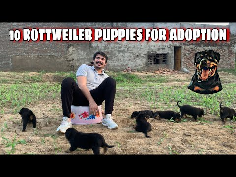 FINALLY! ROTTWEILER PUPPIES ARE AVAILABLE | K.C.I Registered | Rottweiler Puppy price in India