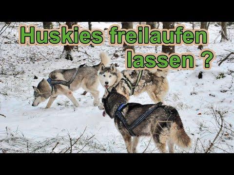 Kann man Huskys frei laufen lassen ? / Hundeerziehung / Nature Trails