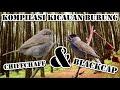 Kompilasi Kicauan Burung Blackcap Chiffchaff Cocok Untuk Masteran  Mp3 - Mp4 Download