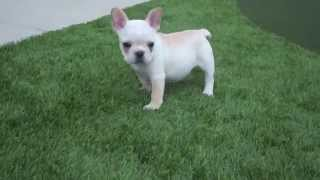 French Bulldog Plays With Cavalier King Charles! For Sale San Diego, Ca