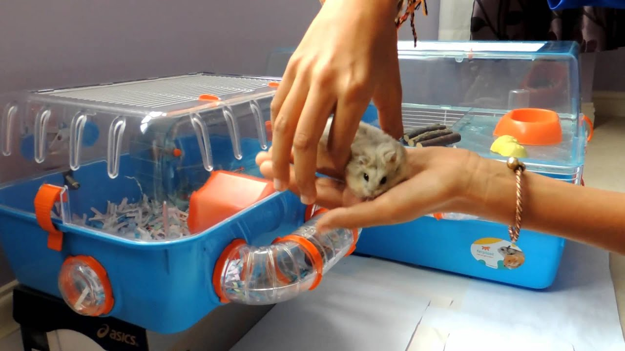 How To Tell If A Hamster Is Male Or Female - Youtube-7973