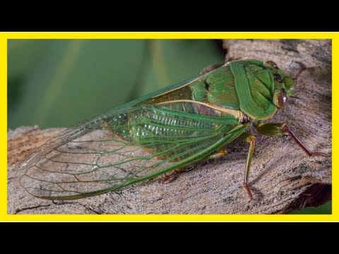 Songs of summer: where can you find the loudest cicadas?