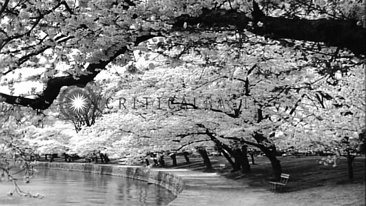 Cherry blossom trees around monuments in Washington DC. HD ...