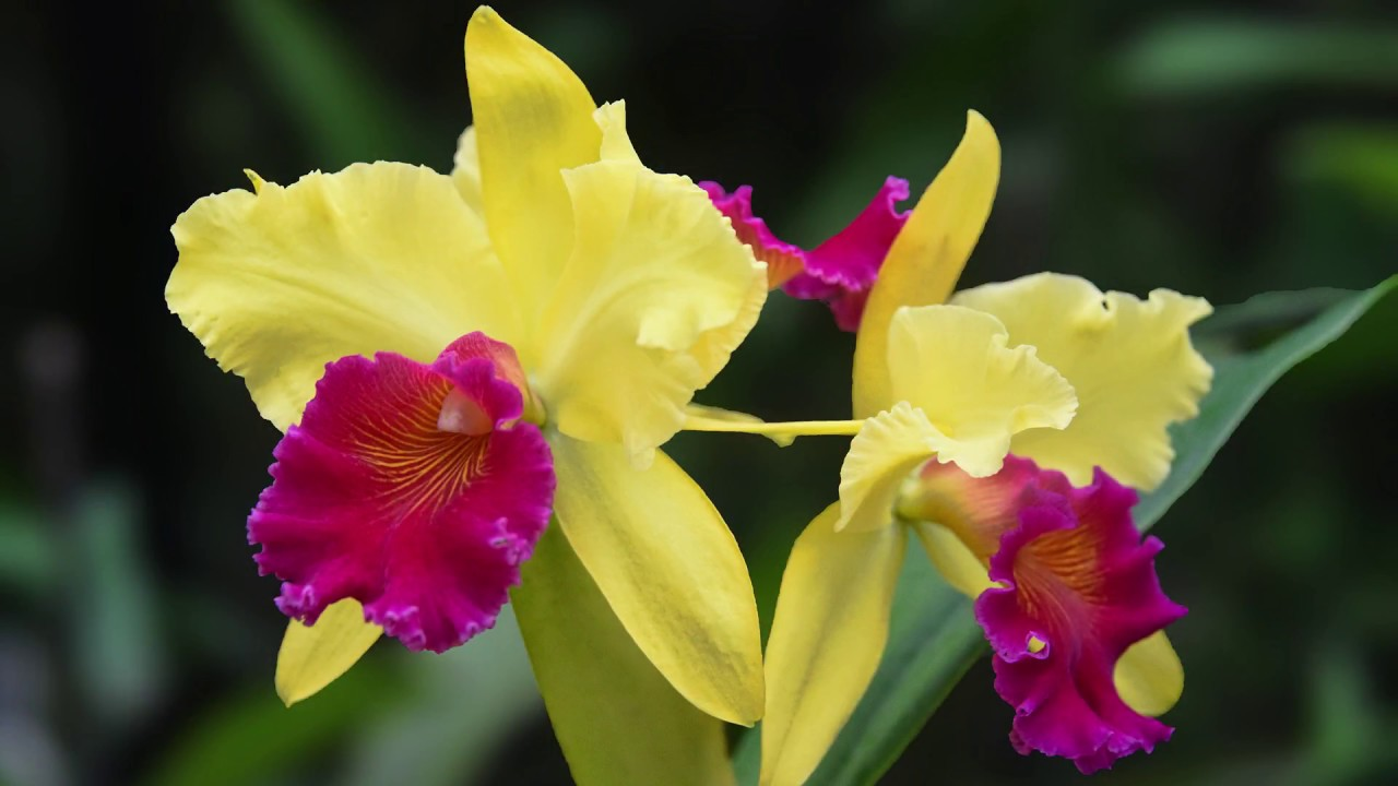 Growing and repotting cattleya orchids youtube for Orchidea cattleya