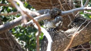 コゲラが餌を啄むようす。