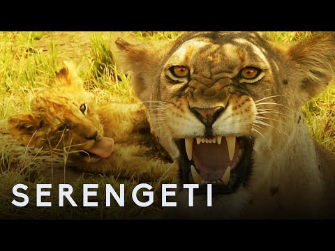 Kali the Lion Defends Cubs from Pack of Wild Dogs | Serengeti: Story Told by John Boyega | BBC Earth