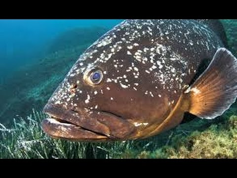 spearfishing-,-34m-8kg-grouper