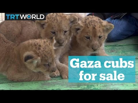 Cubs for sale by Gaza zookeeper