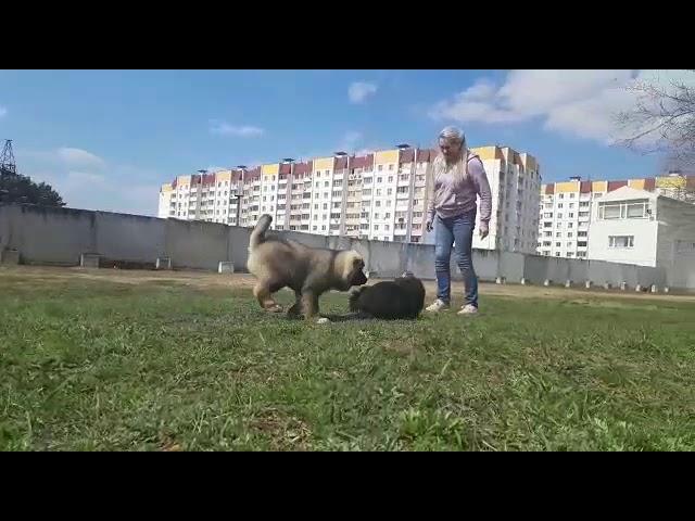 Female Caucasian Shepherd # 01 for sale