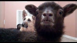 Yeah Lamb [original]
