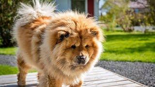 ये हैं दुनिआ के सात सबसे महंगे कुत्ते | 7 Most Expensive Dog Breeds in the World