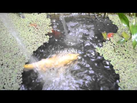 Koi Fish eating Azolla