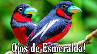 Ojos de Esmeralda Rojinegro. 🥰 me enamoré!!! 😱 lo conocías? ( Eurilaimo Rojinegro) 🦜💕