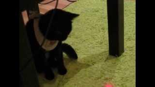 кошка страдает в попоне / cat struggles to walk in a horsecloth